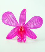 Preserved Dried Orchid - Hot Magenta