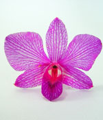 Preserved Dried Orchid - Magenta