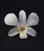 Preserved Dried Orchid - Creamy Whtie