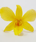 Preserved yellow orchid for wedding invitations card
